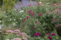 Asters, sedum, perovskia, roses