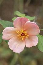 Rosa 'Morning Mist'