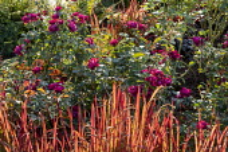 Roses, Imperata cylindrica 'Rubra'