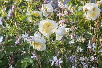 Roses, Gaura lindheimeri