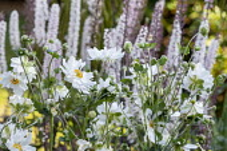 Anemone x hybrida 'Whirlwind', Actaea japonica.