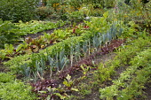 Kitchen garden, rows of onions, beetroot, carrots, lettuces, celeriac, Swiss chard