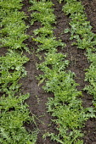 Rows of Frisée lettuce