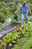 Man watering kitchen garden, row of Swiss chard, wooden walking planks