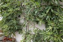 Ficus carica 'Madeleine des Deux Saisons' against wall