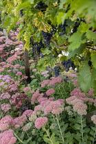 Hylotelephium spectabile syn. sedum beneath grape vines