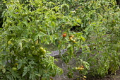 Tomatoes trained on curly metal plant supports, cordons