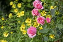 Roses and Helianthus 'Lemon Queen'