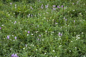 Colchicum autumnale and achillea in wildflower meadow