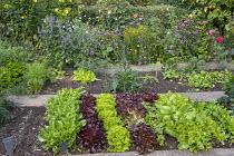 Rows of lettuces in kitchen garden, Verbena bonariensis, Echinacea purpurea