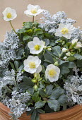 Helleborus niger 'Christmas Carol' and 'Anja' with Senecio cineraria in container