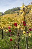 Rose in vineyard