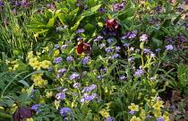 Brunnera, Primula vulgaris, tulips, pulmonaria