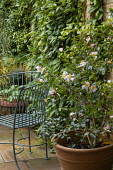 Camellia sasanqua 'Rainbow' in large terracotta pot on patio, metal chair