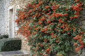Pyracantha trained against stone wall