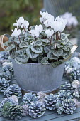 Cyclamen persicum in metal pot on table, pine cones