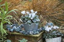 Cyclamen persicum in metal pot, pine cones, Hakonechloa macra