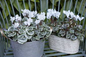 Cyclamen persicum in metal pots
