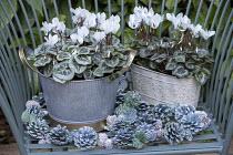 Cyclamen persicum in metal pots, pine cones