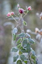 Frost on rosebuds
