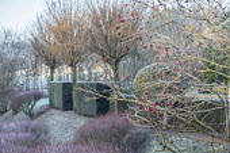 Clipped yew hedge, Robinia pseudoacacia 'Umbraculifera' in frost, Viburnum opulus