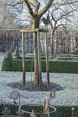 Wooden tree support around tree, frost on lawn, clipped box hedges around border