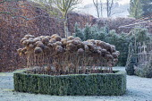 Hydrangea seedheads growing through metal plant support in clipped box hedge enclosure