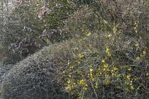 Jasminum nudiflorum, Viburnum x bodnantense 'Dawn'