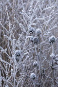 Seedheads and stems in hoarfrost
