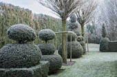 Yew topiary, Robinia pseudoacacia 'Umbraculifera', frost on lawn
