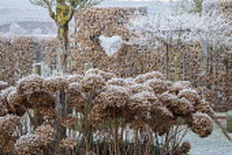 Hydrangea seedheads growing through metal plant support, heart haped window in hornbeam hedge