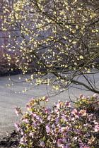 Chimonanthus praecox 'Luteus', Helleborus 'Walberton's Rosemary'