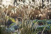 Pennisetum 'Fairy Tails'