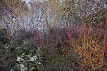 Viburnum x bodnantense 'Dawn', Cornus sanguinea 'Midwinter Fire', Rubus cockburnianus, hellebore