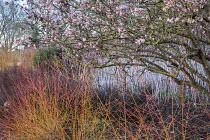 Viburnum x bodnantense 'Dawn', Cornus sanguinea 'Midwinter Fire', Rubus cockburnianus
