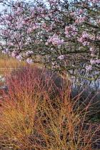 Viburnum x bodnantense 'Dawn', Cornus sanguinea 'Midwinter Fire'
