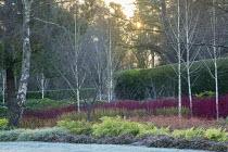 Betula utilis var. jacquemontii, Cornus alba 'Sibirica', Cornus sanguinea 'Midwinter Fire', Cornus sericea 'Flaviramea', epimedium foliage