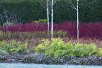 Betula utilis var. jacquemontii, Cornus alba 'Sibirica', Cornus sanguinea 'Midwinter Fire', Cornus sericea 'Flaviramea', Rubus cockburnianus, epimedium edging