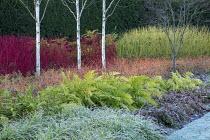 Betula utilis var. jacquemontii, Cornus alba 'Sibirica', Cornus sanguinea 'Midwinter Fire', Cornus sericea 'Flaviramea', Rubus cockburnianus, epimedium, frost on lawn