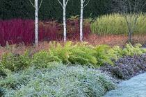 Betula utilis var. jacquemontii, Cornus alba 'Sibirica', Cornus sanguinea 'Midwinter Fire', Cornus sericea 'Flaviramea', epimedium, frost on lawn