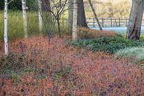 Betula utilis var. jacquemontii, Cornus sanguinea 'Midwinter Fire', Cornus sericea 'Flaviramea'