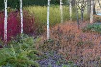 Betula utilis var. jacquemontii, Cornus alba 'Sibirica', Cornus sanguinea 'Midwinter Fire', Cornus sericea 'Flaviramea'