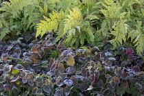 Frost on epimedium leaves, polystichum