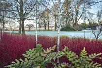 Betula utilis var. jacquemontii, Cornus alba 'Sibirica', mahonia, frost on lawn