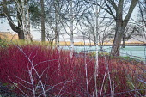 Betula utilis var. jacquemontii, Cornus alba 'Sibirica', Rubus cockburnianus, Cornus sericea 'Flaviramea', frost on lawn