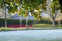 View across frosty lawn, Betula utilis var. jacquemontii, Cornus alba 'Sibirica', Cornus sanguinea 'Midwinter Fire', Cornus sericea 'Flaviramea', Carex 'Ice Dance', Epimedium × versicolor 'Sulphureum...