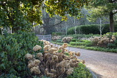 Gravel driveway edged with pachysandra, hydrangea seedheads, Betula utilis var. jacquemontii