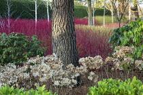 Hydrangea seedheads, rhododendron, Cornus alba 'Sibirica', Cornus sanguinea 'Midwinter Fire', Cornus sericea 'Flaviramea'