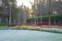 Betula utilis var. jacquemontii, Cornus alba 'Sibirica', Cornus sanguinea 'Midwinter Fire', Cornus sericea 'Flaviramea', frost on lawn