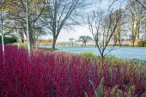 Betula utilis var. jacquemontii, Cornus alba 'Sibirica', Cornus sanguinea 'Midwinter Fire', frost on lawn